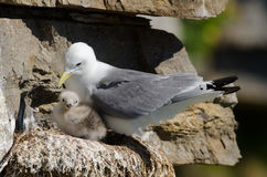 Black-legged kittiwake Stock Photos