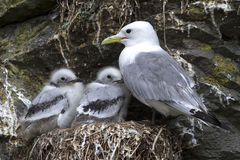 Black-legged kittiwake adult and two chicks in the nest. On a cliff summer day Royalty Free Stock Photo