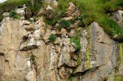 Black-legged kittiwake birds on nesting cliffside in summer. Sto vesteraalen royalty free stock photos