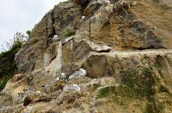 Black-legged kittiwake birds on nesting cliffside in summer. Sto vesteraalen Royalty Free Stock Photo