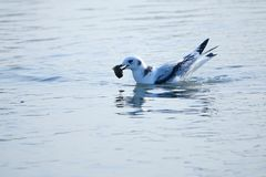 Black-legged Kittiwake. The Black-legged Kittiwake catches a loach in river. Scientific name: Rissa tridactyla stock photo