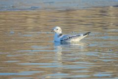 Black-legged Kittiwake. The Black-legged Kittiwake swims in the river. Scientific name: Rissa tridactyla stock images