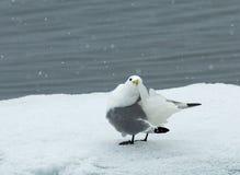 Black-legged Kittiwake, Drieteenmeeuw, Rissa tridactyla. Black-legged Kittiwake adult preening in snow; Drieteenmeeuw volwassen poetsend in sneeuw royalty free stock image