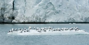 Black-legged Kittiwake, Drieteenmeeuw, Rissa tridactyla. Black-legged Kittiwake on ice; Drieteenmeeuw op ijs stock image