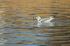 Black-legged Kittiwake. The Black-legged Kittiwake is eating loach in river. Scientific name: Rissa tridactyla royalty free stock photography