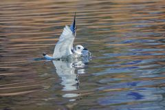 Black-legged Kittiwake. The Black-legged Kittiwake flaps its wings in the water. Scientific name: Rissa tridactyla royalty free stock photos