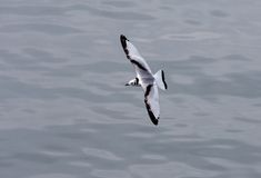 Black-legged Kittiwake Royalty Free Stock Photos