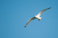 Black-legged Kittiwake. Flying overhead royalty free stock image