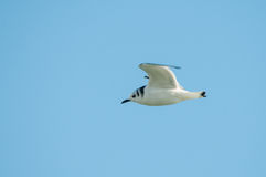 Black-legged Kittiwake. Flying overhead stock photo