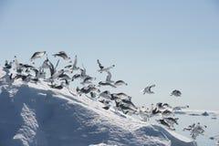 Black-legged Kittiwake on iceberg Stock Photography