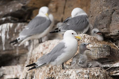 Black-legged Kittiwake. In a nest at the bird sanctuary stock photos