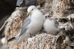 Black-legged Kittiwake. In a nest at the bird sanctuary royalty free stock image
