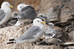 Black-legged Kittiwake. In a nest at the bird sanctuary stock image