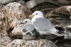 Black-legged Kittiwake. In a nest at the bird sanctuary royalty free stock photos