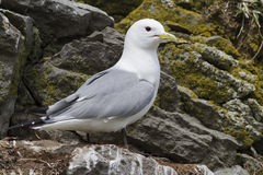 Black-legged kittiwake nest that sits on a spring day Stock Photos
