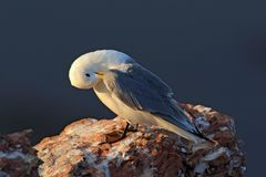 Black-legged Kittiwake, Rissa tridactyla, with blue sea in the background, sitting on the rock cliff, Helgoland, Germany. Bird cle. Aning plumage royalty free stock photos