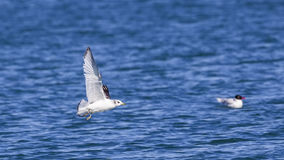 Black-legged Kittiwake. Rissa tridactyla in flight stock photography