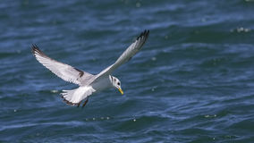 Black-legged Kittiwake. Rissa tridactyla in flight stock image