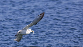 Black-legged Kittiwake. Rissa tridactyla flying with fish in her bill stock photo