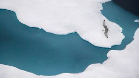The black-legged kittiwake (Rissa tridactyla) flying over the ice in the Arctic Ocean, 82 degrees North. The black-legged kittiwake (Rissa tridactyla) flying royalty free stock photography