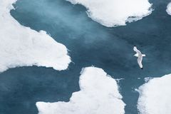 The black-legged kittiwake (Rissa tridactyla) flying over the ice in the Arctic Ocean, 82 degrees North. The black-legged kittiwake (Rissa tridactyla) flying royalty free stock images