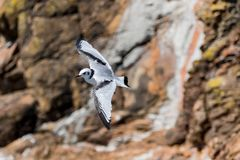 Black-legged kittiwake Rissa tridactyla flying over. Black-legged kittiwake Rissa tridactyla gliding ofer the Cliffs of Moher stock photography