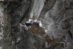 Black-legged Kittiwake Rissa tridactyla. In Kenai Fjords National Park, Alaska, USA royalty free stock image