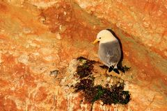 Black-legged Kittiwake, Rissa tridactyla, in the nest, sitting on the rock cliff, Helgoland, Germany. Bird cleaning plumage. Nature stock photography