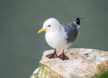 Black-legged Kittiwake - Rissa tridactyla at rest, Yorkshire. The beautiful Black-legged Kittiwake - Rissa tridactyla, a species of gull, at roost on a cliff stock images