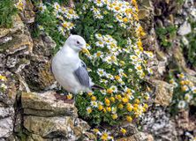 Black-legged Kittiwake - Rissa tridactyla at rest, Yorkshire. Black-legged Kittiwake - Rissa tridactyla at rest near Oxeye Daisies on a cliff-face ledge in stock photo