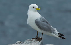 The Black-legged Kittiwake. Sitting on a rock royalty free stock photo