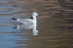 Black-legged Kittiwake. The Black-legged Kittiwake is swimming in the water. Scientific name: Rissa tridactyla stock photo