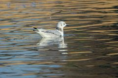 Black-legged Kittiwake. The Black-legged Kittiwake swims in the river. Scientific name: Rissa tridactyla royalty free stock photo