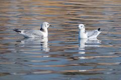 Black-legged Kittiwake. Two Black-legged Kittiwake are resting in water. Scientific name: Rissa tridactyla stock image