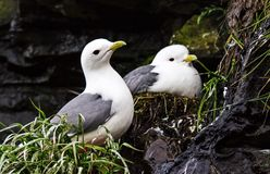 Black-legged Kittiwake. Two seagull guarding their nests with offspring on a cliff. Colony bird on the high rocks. In the Avacha bay. Avian bazar. Selective royalty free stock photography