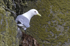 Black-legged kittiwake which sits on a rock in spring. Cloudy day stock image