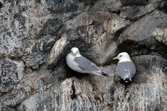 Black-legged Kittiwakes Royalty Free Stock Image