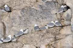 Black-legged Kittiwakes (Rissa tridactyla) nesting Royalty Free Stock Images