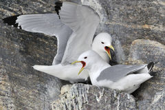 Black-legged Kittiwakes (Rissa tridactyla) nesting Stock Photo