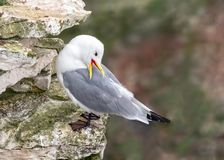 Black-legged Kittiwakes - Rissa tridactyla preening, Yorkshire. Black-legged Kittiwake - Rissa tridactyla, a species of gull, preening on a cliff-face ledge in royalty free stock images