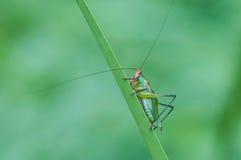 Black-legged Meadow Katydid Stock Image