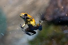Black-legged poison frog Royalty Free Stock Photography