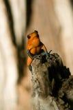Black-legged poison frog Stock Photo
