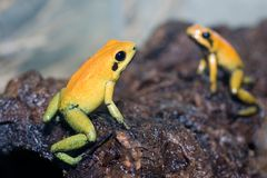 Black-legged poison frog Stock Images