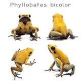 Black-legged poison frog on white Stock Photo