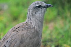 Black-legged seriema Stock Images