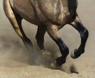 Black legs of running dun horse close up in sand dust. Black legs of running dun Andalusian horse close up in sand dust Royalty Free Stock Photo