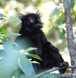 Black Lemur. Eulemur macaco - South Africa Stock Photography