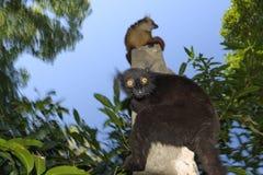 Black lemur Stock Photo