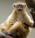 Black lemur 2 Stock Images